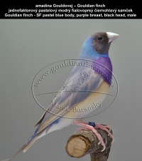 amadina Gouldovej – Gouldian finch  jednofaktorový pastelový modrý fialovoprsý čiernohlavý samček Gouldian finch - SF pastel blue body, purple breast, black head, male