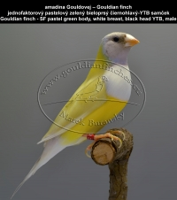 amadina Gouldovej – Gouldian finch  jednofaktorový pastelový zelený bieloprsý čiernohlavý-YTB samček Gouldian finch - SF pastel green body, white breast, black head YTB, male