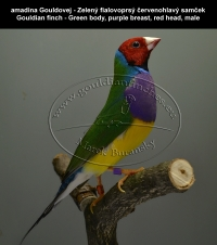 amadina Gouldovej - Zelený fialovoprsý červenohlavý samček  Gouldian finch - Green body, purple breast, red head, male