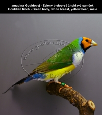 amadina Gouldovej - Zelený bieloprsý žltohlavý samček Gouldian finch - Green body, white breast, yellow head, male