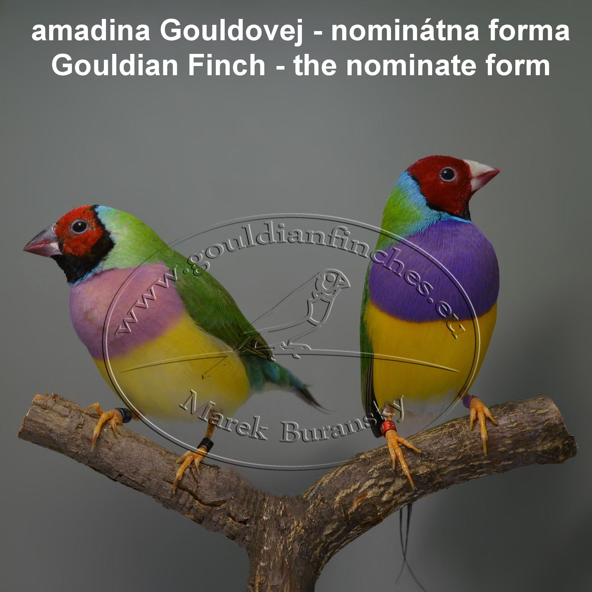 Gouldian finch - Green body, red head pair