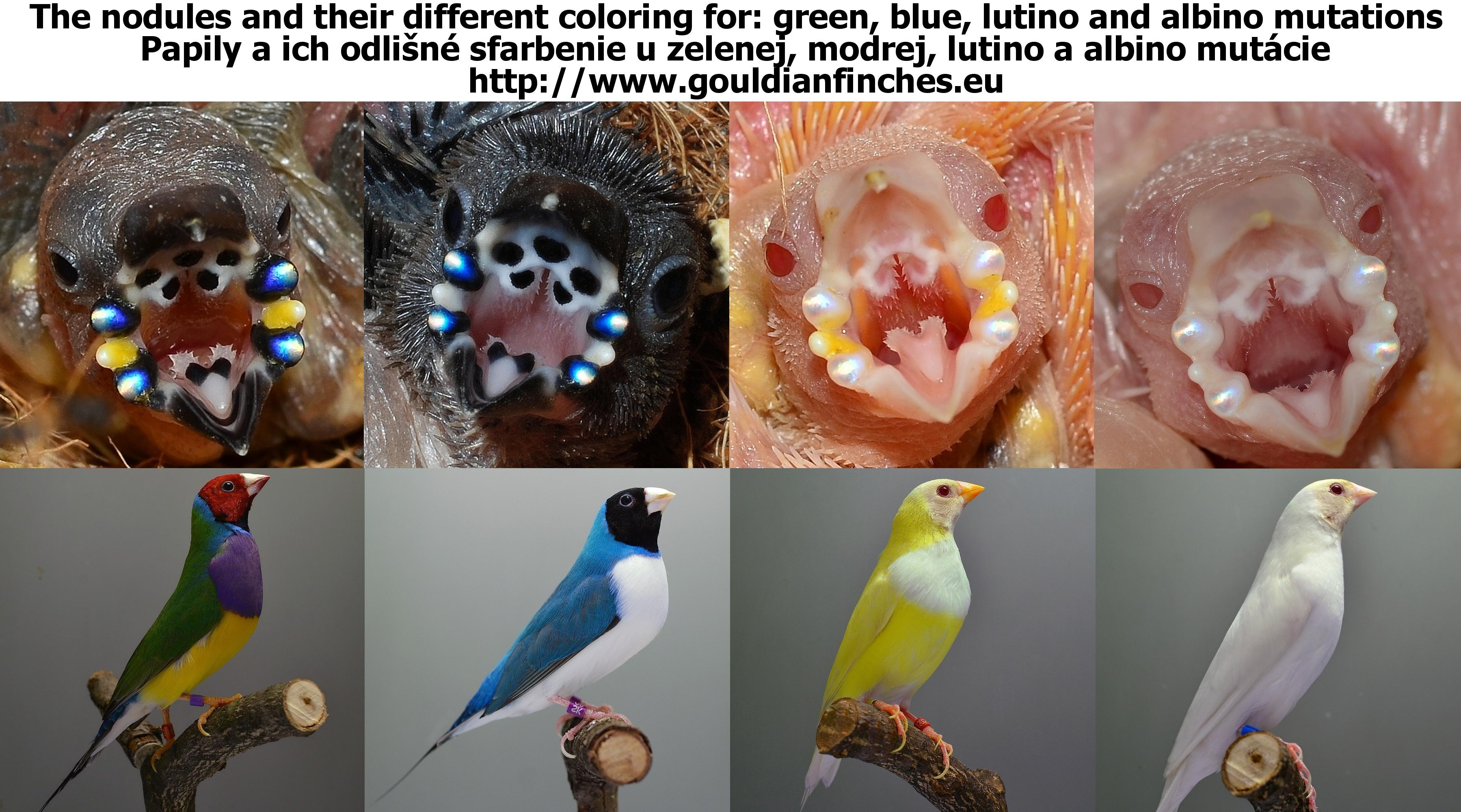 Gouldian Finch Chloebia Erythrura Gouldiae Gouldian Genetic Forecaster Gouldianfinches Eu